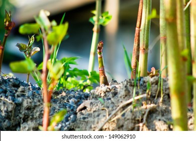 Japanese knotweed is a much reviled invasive species. However, its tender young sprouts are edible and tasty.