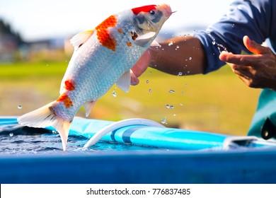 Japanese Koi Carp Jumping