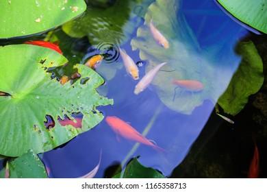 Japanese Koi Carps Ornamental Fish in the Pond at Garden