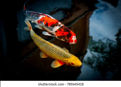 japanese koi in the water