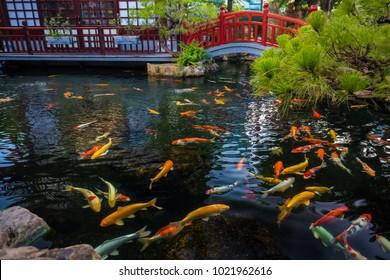 Japanese Kois Pool