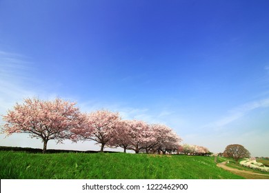 Japanese landscape with cherry blossoms