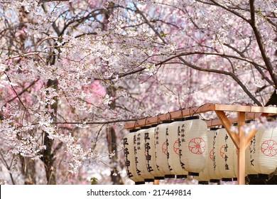 Japanese lantern in the park filled with Sakura
