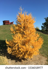 Japanese Larch Tree in Autumn Gold
