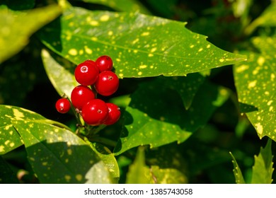 Japanese Laurel - Bright Red berries against lush green flecked leaves