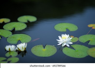 Japanese lotus flower Nymphaea tetragona