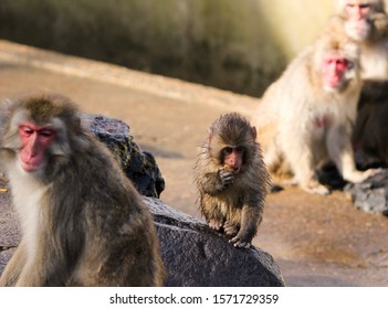 Japanese macaque baby with wet fur eating a snack sitting on a stone. Other macaques in the background