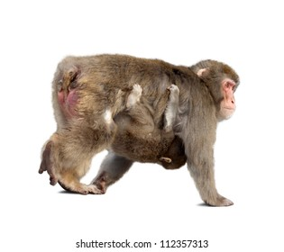 Japanese macaque with cub. Isolated  over white background with shade