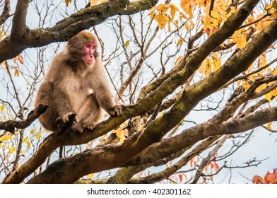 Japanese macaque in front of colorful leaves, Arashiyama, Kyoto, Japan