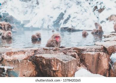 Japanese macaque in hot spring, Jigokudani, Japan