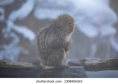 The Japanese macaque, also known as the snow monkey, is a terrestrial Old World monkey species that is native to Japan.