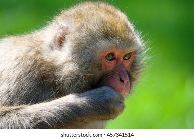 Japanese Macaque (Macaca fuscata) looking for food
