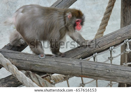 Japanese Macaque Macaca Fuscata Moscow Zoo Stock Photo (Edit Now