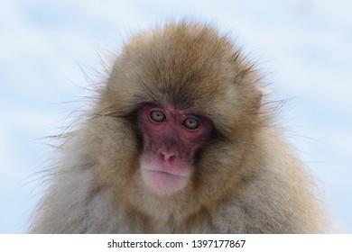 Japanese Macaque (Macaca fuscata) or Snow Monkey in the snowy mountains of Jigokudani, Joshinestsu Kogen National Park, Honshu Island, Japan.