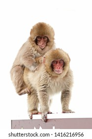 Japanese Macaque (Macaca fuscata) 'Snow Monkey' two juveniles playing