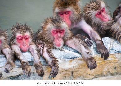 Japanese macaque monkey in hot spring water pool in winter in Japan , Japanese onsen monkey in Hakodate Japan a tourist attraction place in Hakodate Hokkaido japan