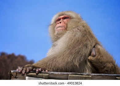 Japanese macaque monkey sitting, against blue sky