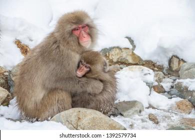 Japanese Macaque in Nagano Japan