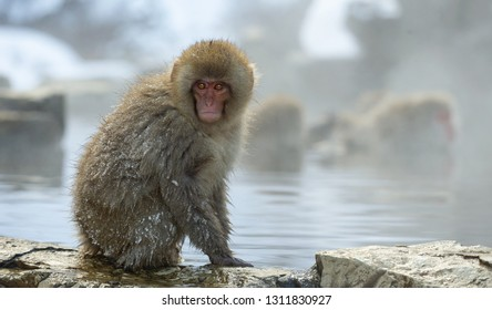 Japanese macaque near the natural hot springs. The Japanese macaque, Scientific name: Macaca fuscata, also known as the snow monkey. Natural habitat, winter season.