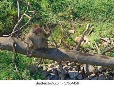 Japanese macaque sitting on a dry tree, holding a branch.