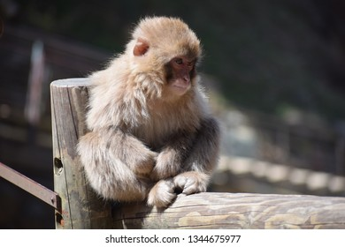 Japanese macaque sitting on a wooden handrail in Jigokudani Snow Monkey Park