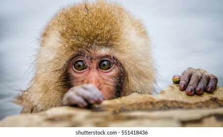 Japanese macaque sitting in water in a hot spring. Japan. Nagano. Jigokudani Monkey Park. An excellent illustration.