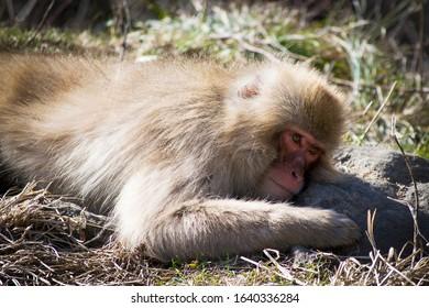 Japanese macaque - Snow Monkey - at Jigokudani Monkey Park,  Yamanouchi, Nagano Prefecture, Japan