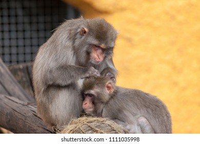 Japanese macaque, Snow monkey (Macaca fuscata) in the Moscow Zoo