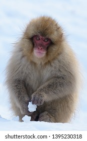 Japanese Macaque or Snow Monkey (Macaca fuscata) in the snowy mountains of Jigokudani, Joshinestsu Kogen National Park, Honshu Island, Japan, in winter.