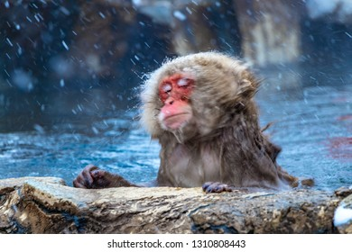 Japanese macaque or snow Japanese monkey with onsen at snow monkey park or Jigokudani Yaen-Koen in Nagano, Japan during the winter season