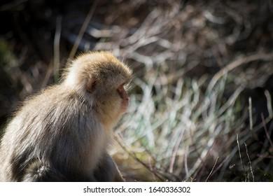 Japanese macaque - Snow Monkeys - at Jigokudani Monkey Park,  Yamanouchi, Nagano Prefecture, Japan