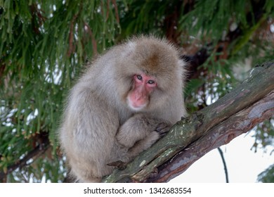 Japanese macaque watches from a tree