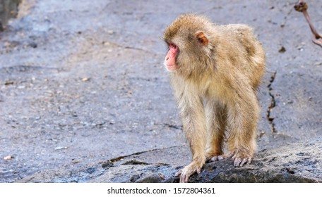 Japanese macaque with wet fur standing on a stone looking left (Focus on the face of the macaque)