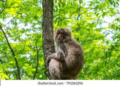 Japanese macaque-Kamikochi: Northern Japan Alps, Nagano, Japan