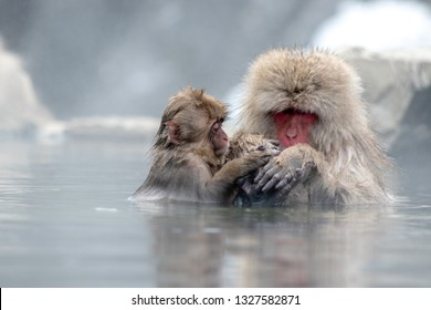 Japanese Macaques bathing in an onsen