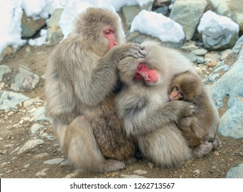 Japanese macaques Family.  The Japanese macaque ( Scientific name: Macaca fuscata), also known as the snow monkey. Natural habitat, winter season.