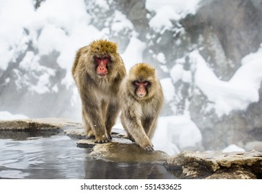 Japanese macaques on the rocks near the hot springs. Japan. Nagano. Jigokudani Monkey Park. An excellent illustration.