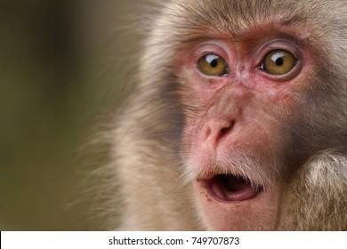 japanese macaques, snow monkey park, Nagano, Japan