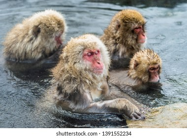 Japanese macaques in the water of natural hot springs. Japanese macaque ( Scientific name: Macaca fuscata), also known as the snow monkey. Natural habitat. Japan