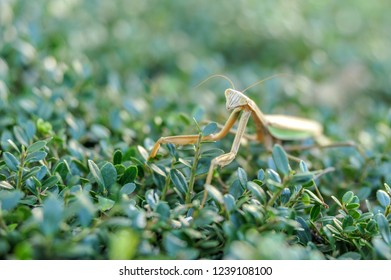 Japanese Mantis (Statilia maculata) on green leaves. Close-up image of the mantis looking at the camera. Mantis isolated. Horizontal image. Copy space.
