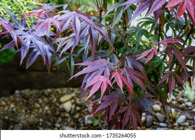 Japanese maple Acer palmatum Atropurpureum on shore of beautiful garden pond. Young red leaves against blurred green plants  background. Spring landscape, fresh wallpaper, nature background concept