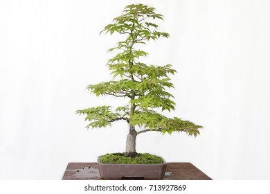 Japanese maple (Acer Palmatum) bonsai on a wooden table and white background