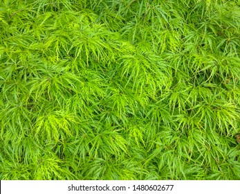 Japanese maple (Acer palmatum) is a species of woody plant native to Japan, China, Korea, eastern Mongolia, and southeast Russia.