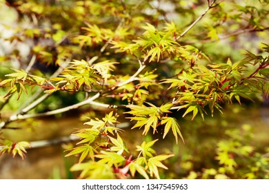 Japanese  maple -acer palmatum - tree  , beautiful green leaves with red edges  ,leaves with seven lobes and  pointed lobes