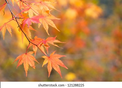 Japanese maple (acer palmatum) turning color at fall