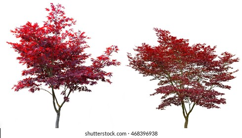 Japanese Maple after 15 years and after 20 years on white background.