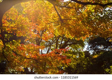 Japanese maple and autumn leaves.The shooting location is  Tokyo, Japan.