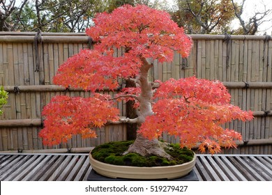 Japanese maple bonsai in autumn