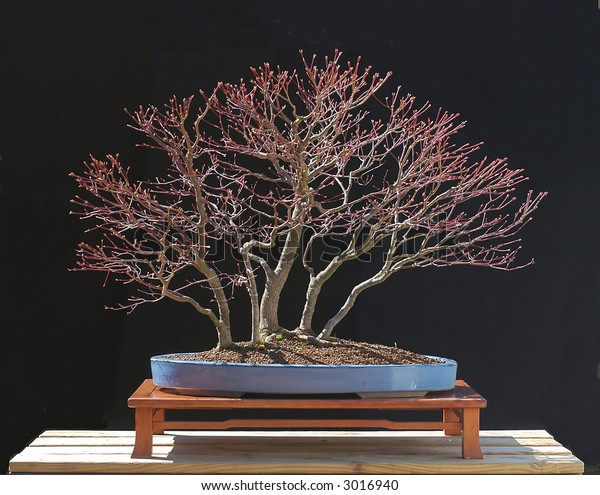 Japanese Maple Bonsai Forest Stock Photo Edit Now 3016940