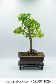 Japanese Maple bonsai isolated on white background.